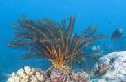 Crinoid (Oxycomanthus bennetti)