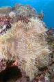 Leathery Anemone (Heteractis crispa)