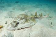 Southern Fiddler Ray (Trygonorrhina fasciata)