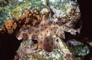 California Horn Shark (Heterodontus francisci)