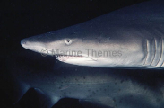 Grey Nurse Shark (Carcharias taurus)