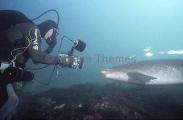 Broadnose Sevengill Shark (Notorynchus cepedianus)