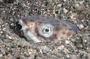 Cliff's Snake Eel (Callechelys cliffi)