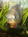 Natterer's Piranha (Pygocentrus nattereri)