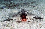 Red-lipped Batfish (Ogcocephalus darwini)