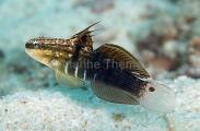 Banded Goby (Amblygobius phalaena)