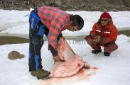 Inuit hunters skinning young Ringed Seal (Phoca hispida)