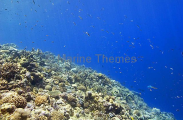 Various coral species growing on shoulder of coral reef.