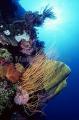 Whip Corals (Ellisellidae)