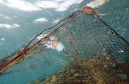 Ghost net tangled on coral reef with dead parrotfish, caught while feeding off algae growning on mesh.