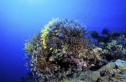 Crinoids on coral reef (Cromanthina sp.)