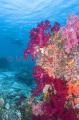 Soft Corals (Dendronephthya)