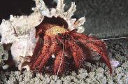 Speckled Hermit Crab (Dardanus Megistos)