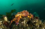 Puget Sound King Crab (Lopholithodes mandtii)