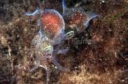 Southern Bobtail Squid (Euprymna tasmanica)