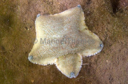 Regular Sea Star (Patiriella regularis)