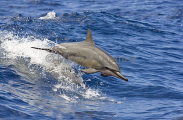 Long-snouted Spinner Dolphin (Stenella longirostris)