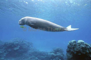 Dugong (Dugong dugon)