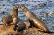 Australian Fur Seals (Arctocephalus pusillus doriferus)