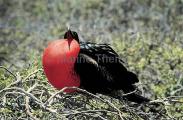 Great Frigate Bird (Fregata minor)