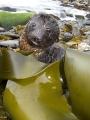 Australian Fur Seal (Arctocephalus pusillus doriferus)