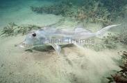 Elephant Fish Chimaera (Callorhinchus milii)