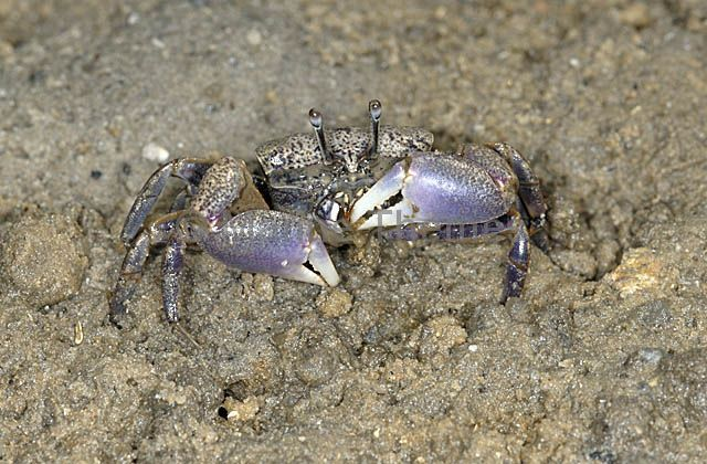 Fiddler / Ghost Crabs Ocypodidae - MarineThemes Stock Photo