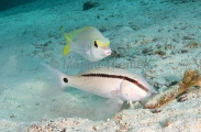Dash-dot Goatfish (Parupeneus barberinus)