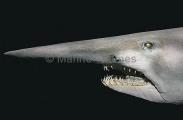 Goblin Shark (Mitsukurina owstoni)
