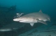 Grey Nurse Sharks (Carcharias taurus)