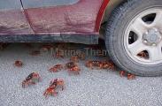 Red Crabs (Gecarcoidea natalis)