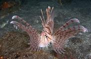 Luna Lionfish (Pterois lunulata)