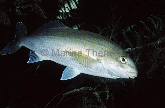 Morwong, Moki, Rubberlips, Kelpfish, Trumpeters