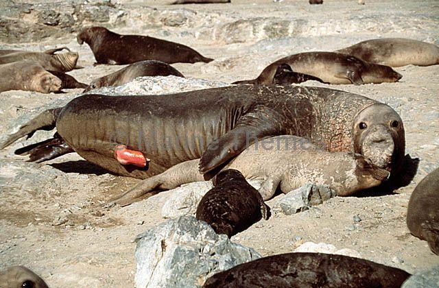 Секс морских котиков — photo 4