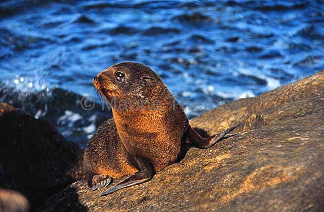 NZ Fur Seal Abovewater - MarineThemes Stock Photo Library