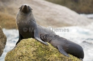 New Zealand Fur Seal (Arctocephalus forsteri)