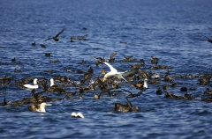 Sooty Shearwaters (Puffinus griseus)