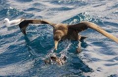 Northern Giant Petrel (Macronectes halli)