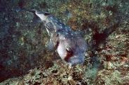 Spotted Burrfish (Chilomycterus reticulatus)