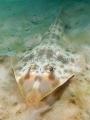 Atlantic Guitarfish (Rhinobatos lentiginosus)