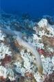 Olive Sea Snake (Aipysurus laevis)