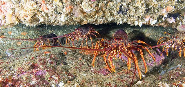 how to prepare southern rock lobster
