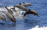 Long-snouted Spinner Dolphins (Stenella longirostris)