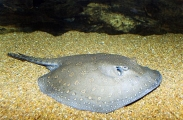 Rosette River Stingray (Potamotrygon schroederi)