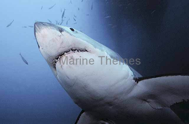 an essay on shark hunting and the gathering of shark fins Congress: time is ticking for sharks  we're hunting many shark populations to the brink of extinction the demand for shark fins, which are used to make shark fin soup -- a popular dish in .